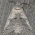 carpenter moth - Acossus undosus