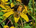Yellow bug on Brown-eyed Susan - Chauliognathus pensylvanicus