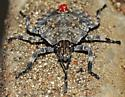 Beetle with Turtle-like Shell pattern - Brochymena
