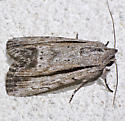 Catabenoides terminellus