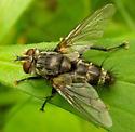 Tachinidae - Tachinomyia - male