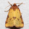 Azenia obtusa