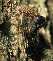 Treehopper 11 - Telamona decorata