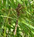 ID REQUEST is this a Shadow Darner? - female