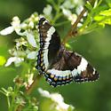 Strongly marked butterfly - Limenitis arthemis
