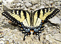 female adult eastern tiger swallowtail/Papilio glaucus-dorsal view - Papilio glaucus - female