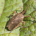 Insect for ID - Scolops sulcipes