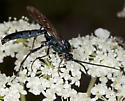 Wasp IMG_3024 - Patrocloides montanus - male