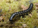 Is this a flat-backed millipede? - Harpaphe haydeniana