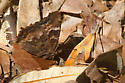 California Tortoiseshell - Nymphalis californica