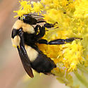 Bombus fraternus? - Bombus fraternus - female