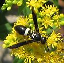 White Banded Wasp - Monobia quadridens