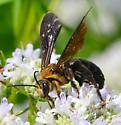 large halictid or giant resin bee - Dieunomia heteropoda - male