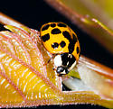 Mulicolored Asian Lady Beetle (Harmonia axyridis) - Harmonia axyridis