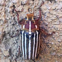ID for a colorful beetle? - Polyphylla