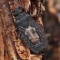 Flat bug - Neuroctenus