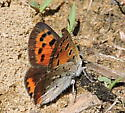American Copper Butterfly - Lycaena phlaeas