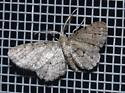 small moth with feathered antenna - Glenoides texanaria