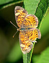 Pearl Crescent - B - Phyciodes tharos