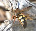 colonial ground nesting bee - Scolia nobilitata - male