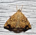 moth at porch light - Evergestis pallidata