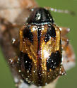 Leaf Beetle - Paria