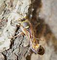 small wasp - Sceliphron curvatum - female