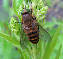 hoverfly with indistinct stripes - Stonemyia tranquilla