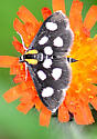White-spotted Sable - Anania funebris