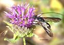 Bee Fly - Thevenetimyia californica