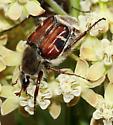 Beetle - Trichiotinus piger