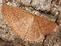 Moth - Pleuroprucha insulsaria