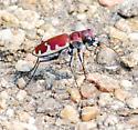 Big Sand Tiger Beetle - Cicindela formosa formosa - Cicindela formosa