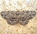 Protoboarmia porcelaria - female