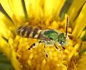 metallic green bee - Agapostemon texanus - male