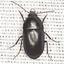 Ground Beetle - Oodes amaroides