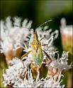 Pale Green Bug - Harmostes