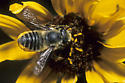 Leaf-cutter Bee - Megachile brevis