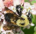 Black-costaed bumble bee - Bombus griseocollis