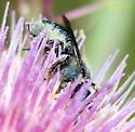 Megachilidae? - Osmia chalybea - female