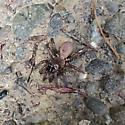 Forest brown and tan spider - Antrodiaetus pacificus