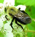 Bombus unknown - Bombus citrinus - female