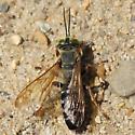 Hilltop wasp - Tachytes distinctus - male