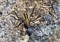 Spider near beach - Pardosa