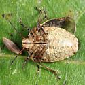 Holcostethus limbolarius? - Holcostethus limbolarius