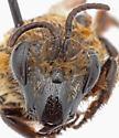 bee making burrows in sandhill habitat - Colletes ultravalidus