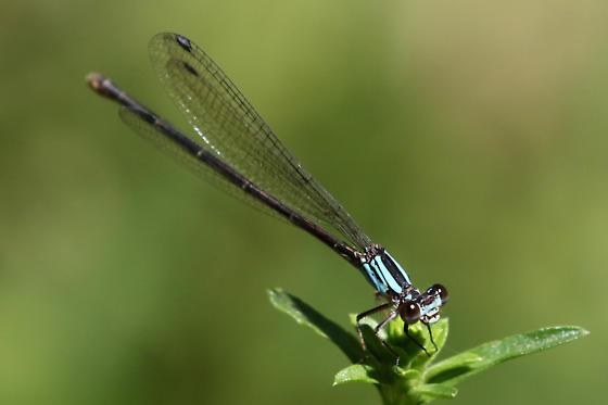 Damselfly (Argia tibialis blue-form female?) - Argia