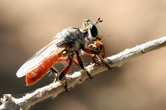 Robber Fly ? - Cerotainiops