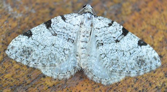Moth - Perizoma costiguttata