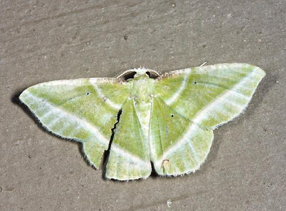 Showy Emerald  - Dichorda iridaria